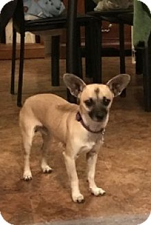 Chihuahua Mix Dog for adoption in Mesa, Arizona - Charlie