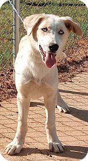 Australian Shepherd/Great Pyrenees Mix Puppy for adoption in Sylacauga, Alabama - Sheba