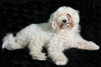 Bichon Frise/Maltese Mix Dog for adoption in Allentown, Pennsylvania - Popcorn