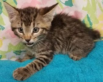 Manx/Domestic Shorthair Mix Cat for adoption in Brownwood, Texas - Tiger Bob