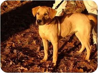 Labrador Retriever/Rhodesian Ridgeback Mix Dog for adoption in Windham, New Hampshire - Chole