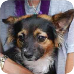 Chihuahua Mix Puppy for adoption in Berkeley, California - Chipz