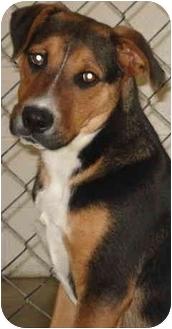 Rottweiler/Shepherd (Unknown Type) Mix Dog for adoption in Jacksonville, Arkansas - Rodney