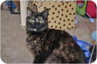 Domestic Longhair Cat for adoption in Youngwood, Pennsylvania - Faith