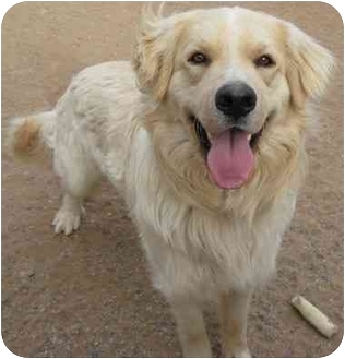 Golden Retriever/Retriever (Unknown Type) Mix Dog for adoption in Golden Valley, Arizona - Charlie