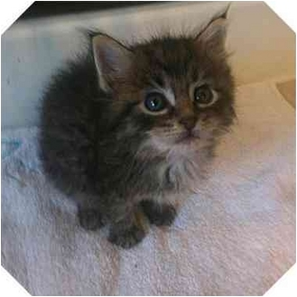 Domestic Mediumhair Kitten for adoption in Sugar Land, Texas - Bert