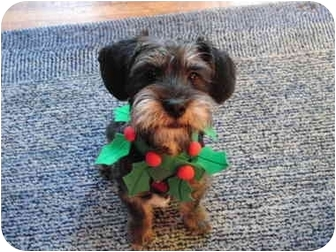 Schnauzer (Miniature)/Dachshund Mix Puppy for adoption in Los Angeles, California - Fritz