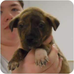 Collie/Retriever (Unknown Type) Mix Puppy for adoption in Naperville, Illinois - Olivia's Pup - Cooper