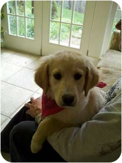 Golden Retriever/Labrador Retriever Mix Puppy for adoption in Harrisonburg, Virginia - Buttercup