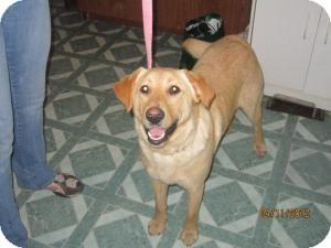 Golden Retriever/Labrador Retriever Mix Dog for adoption in Hopkinsville, Kentucky - Goldie