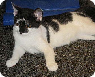 Domestic Shorthair Kitten for adoption in N. Billerica, Massachusetts - Mia