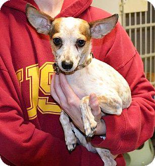 Chihuahua Dog for adoption in Indianola, Iowa - M1 - Jax