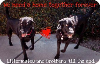 Labrador Retriever Dog for adoption in Rolling Hills Estates, California - Coal and D.O.G