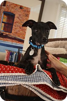 Miniature Pinscher/Terrier (Unknown Type, Small) Mix Puppy for adoption in Chattanooga, Tennessee - Spryte