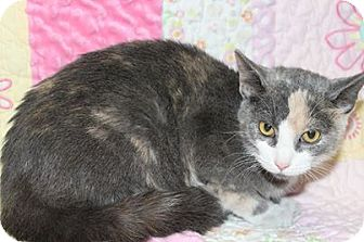 Domestic Shorthair Cat for adoption in HARRISONVILLE, Missouri - Juilia