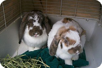 Lop-Eared Mix for adoption in Harrisburg, Pennsylvania - Maggie