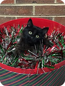 Domestic Longhair Kitten for adoption in Germantown, Tennessee - Theodore