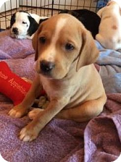 Hound (Unknown Type)/Retriever (Unknown Type) Mix Puppy for adoption in Marlton, New Jersey - Curious George