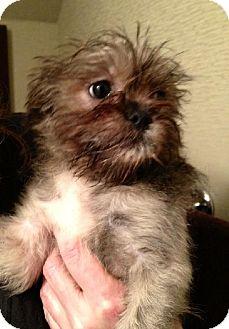Shih Tzu Puppy for adoption in Flushing, New York - Sandy
