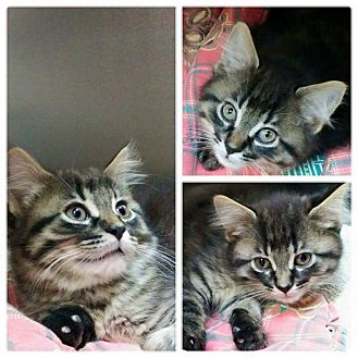 Domestic Mediumhair Kitten for adoption in THORNHILL, Ontario - Luke