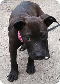 Labrador Retriever/American Pit Bull Terrier Mix Puppy for adoption in Eastpointe, Michigan - Mousse