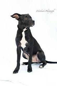 Labrador Retriever/Pit Bull Terrier Mix Puppy for adoption in New Smyrna Beach, Florida - Malcom