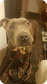 Mastiff/Pit Bull Terrier Mix Dog for adoption in Brooklyn, New York - Shea