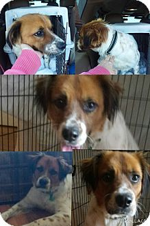 Brittany/English Setter Mix Dog for adoption in Newtown, Connecticut - Ritzie