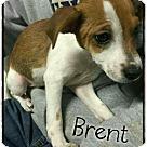Adopt A Pet :: Brent - Mandeville, LA