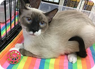 Siamese Cat for adoption in Gilbert, Arizona - Keanu
