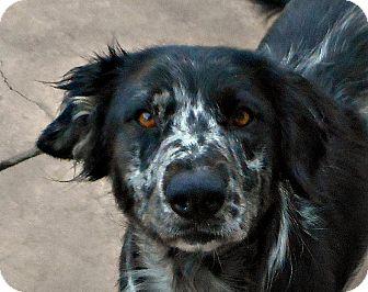 Australian Shepherd/English Springer Spaniel Mix Dog for adoption in Oakley, California - Becky