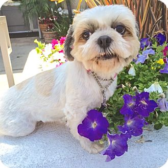 Shih Tzu/Lhasa Apso Mix Dog for adoption in Los Angeles, California - JEWEL