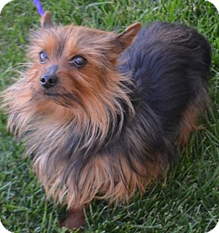 Silky Terrier Mix Dog for adoption in Fruit Heights, Utah - Monte