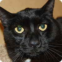 Domestic Shorthair Cat for adoption in Whittier, California - Monroe