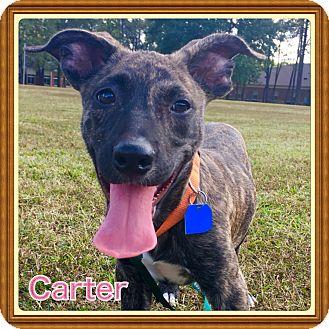 Pit Bull Terrier/Labrador Retriever Mix Puppy for adoption in Brattleboro, Vermont - Carter