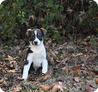 Shepherd (Unknown Type) Mix Puppy for adoption in Groton, Massachusetts - Rudy