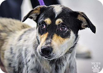 Australian Cattle Dog Mix Dog for adoption in Martinsville, Indiana - Macy