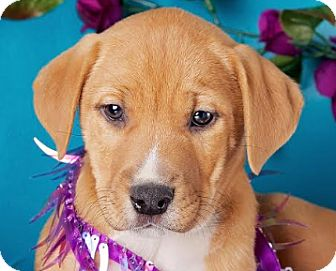 Labrador Retriever/Boxer Mix Puppy for adoption in Cincinnati, Ohio - Lemur