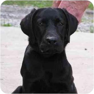 Labrador Retriever Puppy for adoption in Brodheadsville, Pennsylvania - Willy