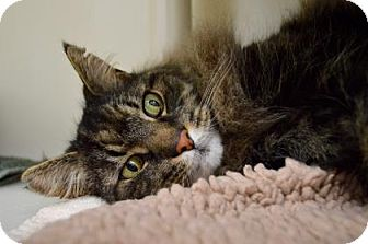Maine Coon Cat for adoption in Buena Vista, Colorado - Jack