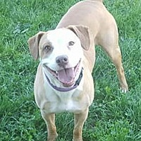 Pit Bull Terrier/Hound (Unknown Type) Mix Dog for adoption in Westminster, Maryland - Carly