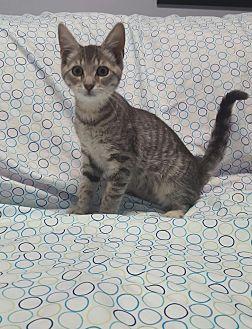 Domestic Shorthair Kitten for adoption in Hawk Point, Missouri - Malibu