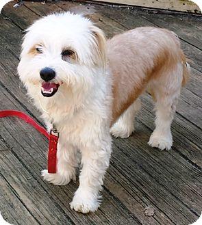 Havanese/Schnauzer (Miniature) Mix Dog for adoption in Fredericksburg, Virginia - Gizzy