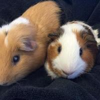 Guinea Pig for adoption in Edmond, Oklahoma - Max