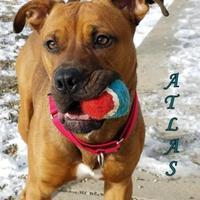 Adopt A Pet :: Atlas - Boone, IA