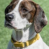 Pointer/Labrador Retriever Mix Dog for adoption in Loxahatchee, Florida - Cypress AKA Cooper