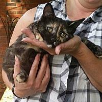 Domestic Shorthair Kitten for adoption in Coopersburg, Pennsylvania - Chloe