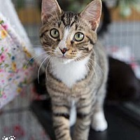 Adopt A Pet :: Garfield - Merrifield, VA