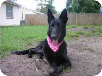 German Shepherd Dog Dog for adoption in Green Cove Springs, Florida - Cleo
