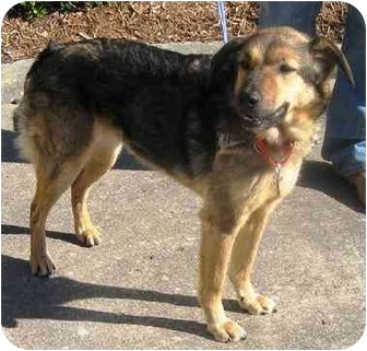 Shepherd (Unknown Type)/Border Collie Mix Dog for adoption in Norfolk, Virginia - ART 'CoCo'
